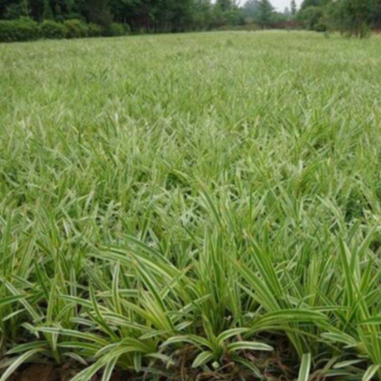 长青麦冬草怎么种植 金边麦冬草品种 王春雷麦冬草
